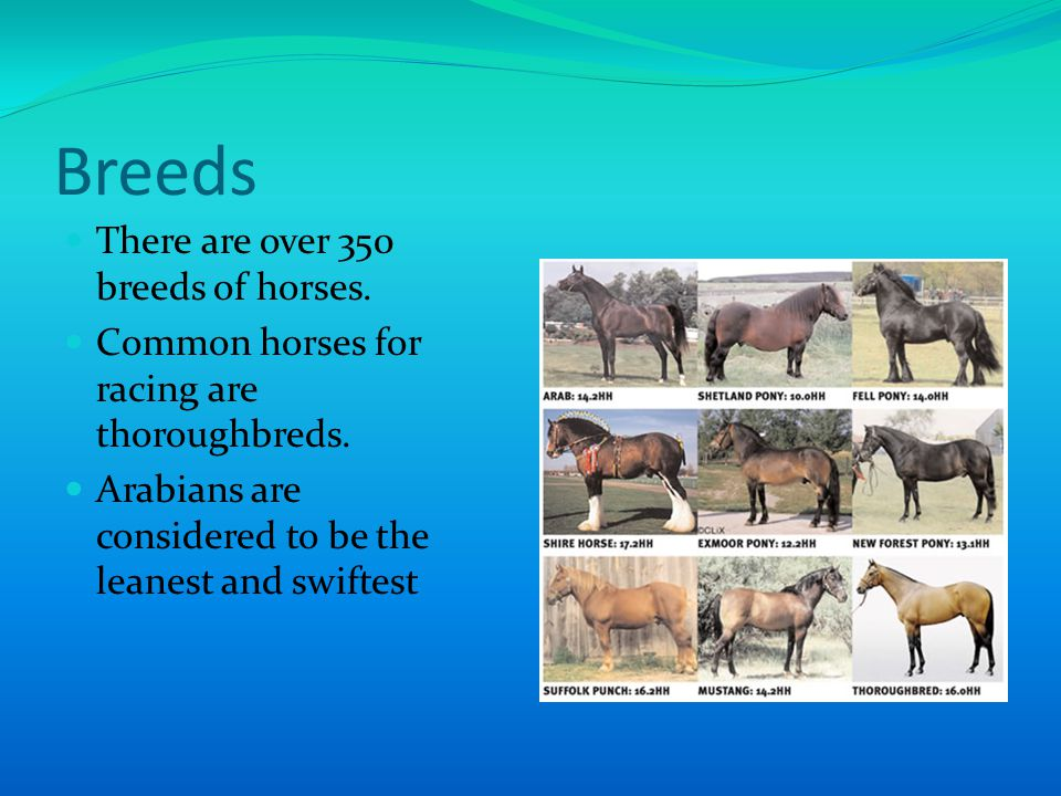 Breeds There are over 350 breeds of horses. Common horses for racing are thoroughbreds.