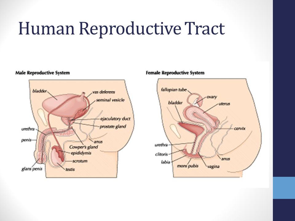 What Female Organ Produces Testosterone Shipsbenefits