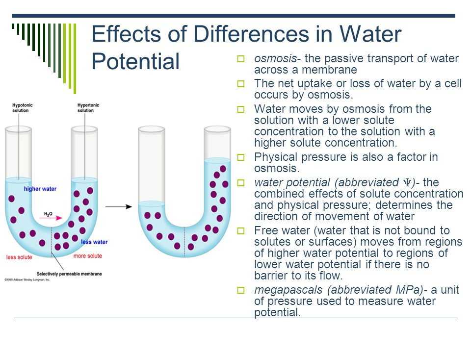 Effects of Differences in Water Potential: continued How Solutes and Pressure Affect Water  solute potential (abbreviated  S)- proportional to the number of dissolved solute molecules.