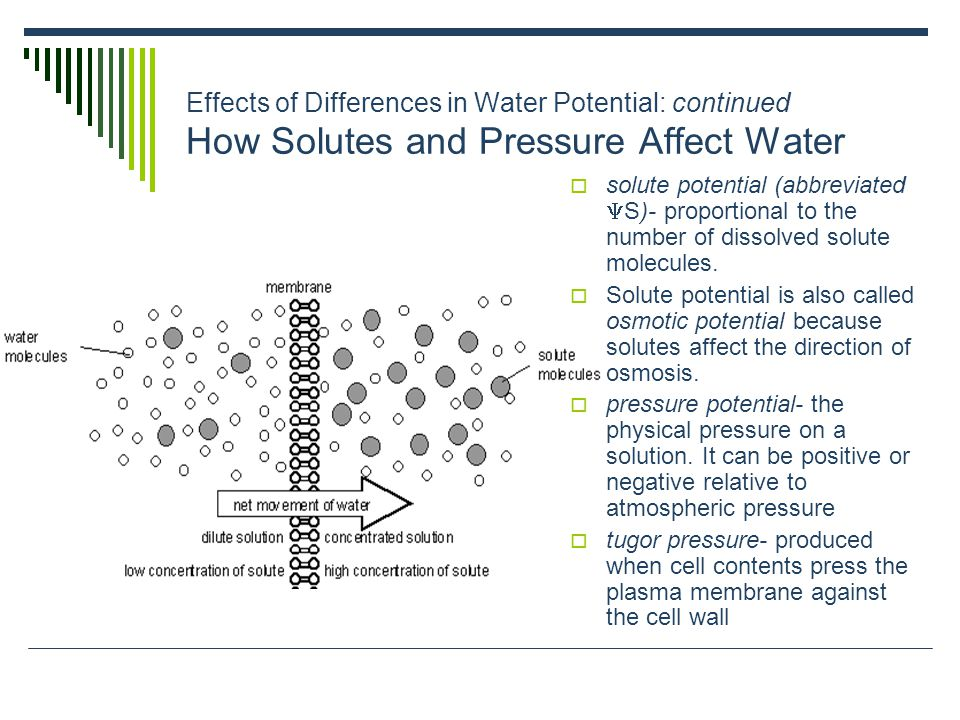 Effects of Differences in Water Potential: continued Quantitative Analysis of Water Potential  In the absence of physical pressure (  P = 0) the water potential (  ) will be equal to the solute potential (  S), and the water will flow towards the region of low solute potential (the region with more dissolved solute molecules).