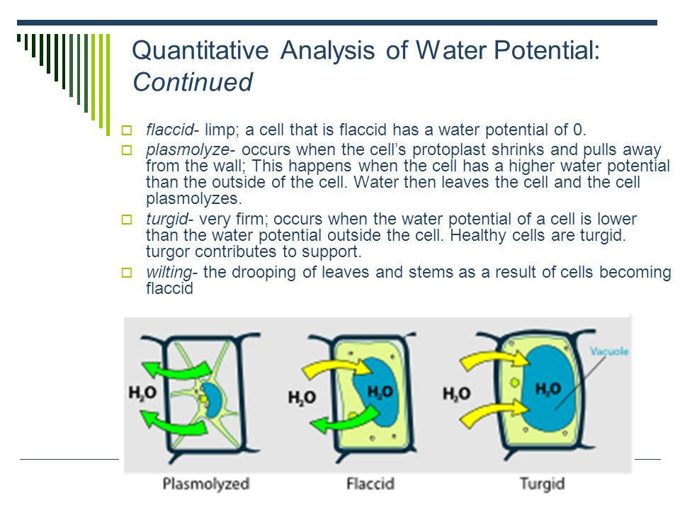 Effects of Differences in Water Potential: continued Aquaporin Proteins and Water Transport  aquaporins- transport proteins that help water cross vacuolar and plasma membranes  Aquaporins control the rate at which water diffuses down its water potential gradient.