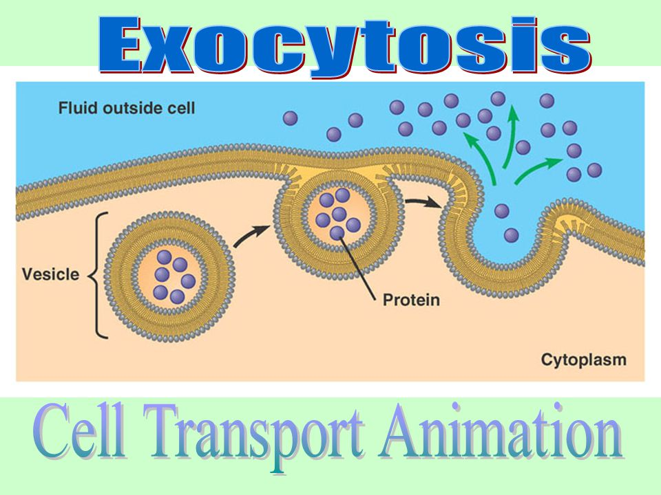 Vesicles made by the cell fuse with the cell membrane, releasing their contents into the external environment