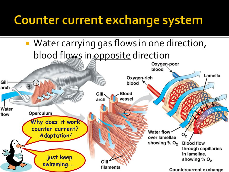  Water carrying gas flows in one direction, blood flows in opposite direction just keep swimming….