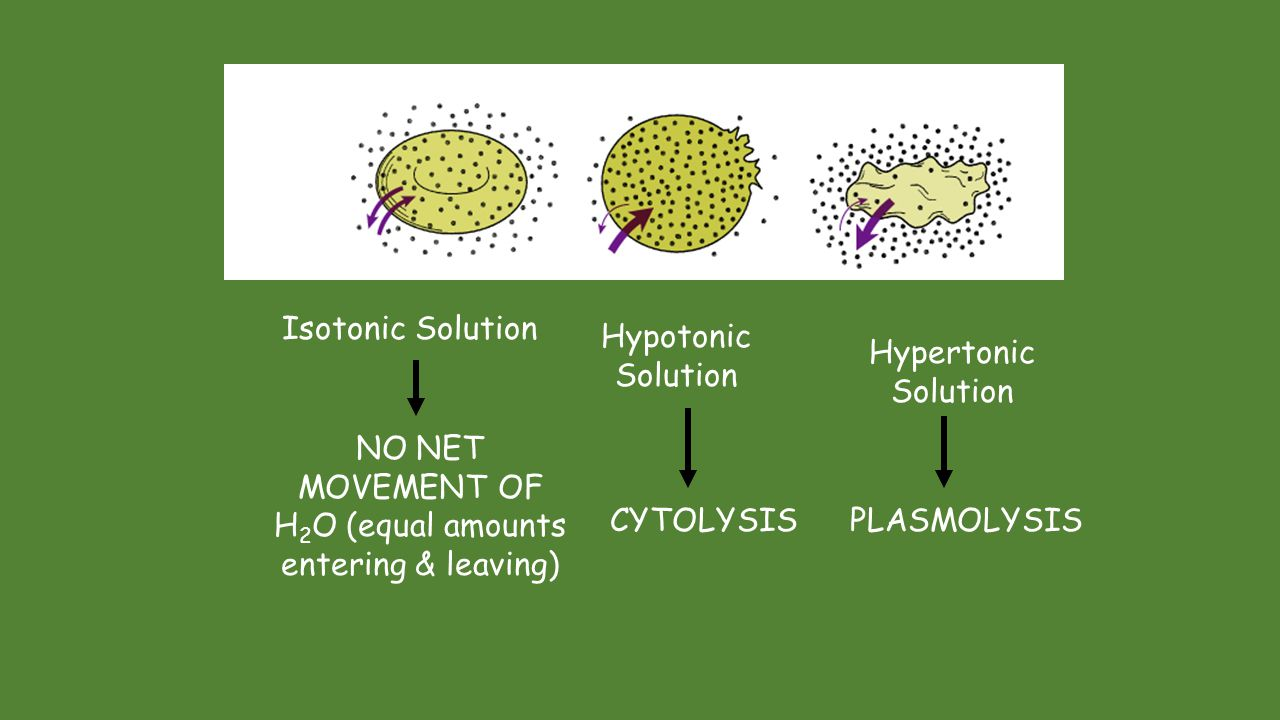 Osmosis – water transport across a membrane Hypertonic- solution with more substance than water concentration Isotonic – equal concentration of substance on both sides of the membrane Hypotonic – solution with less substance than water concentration