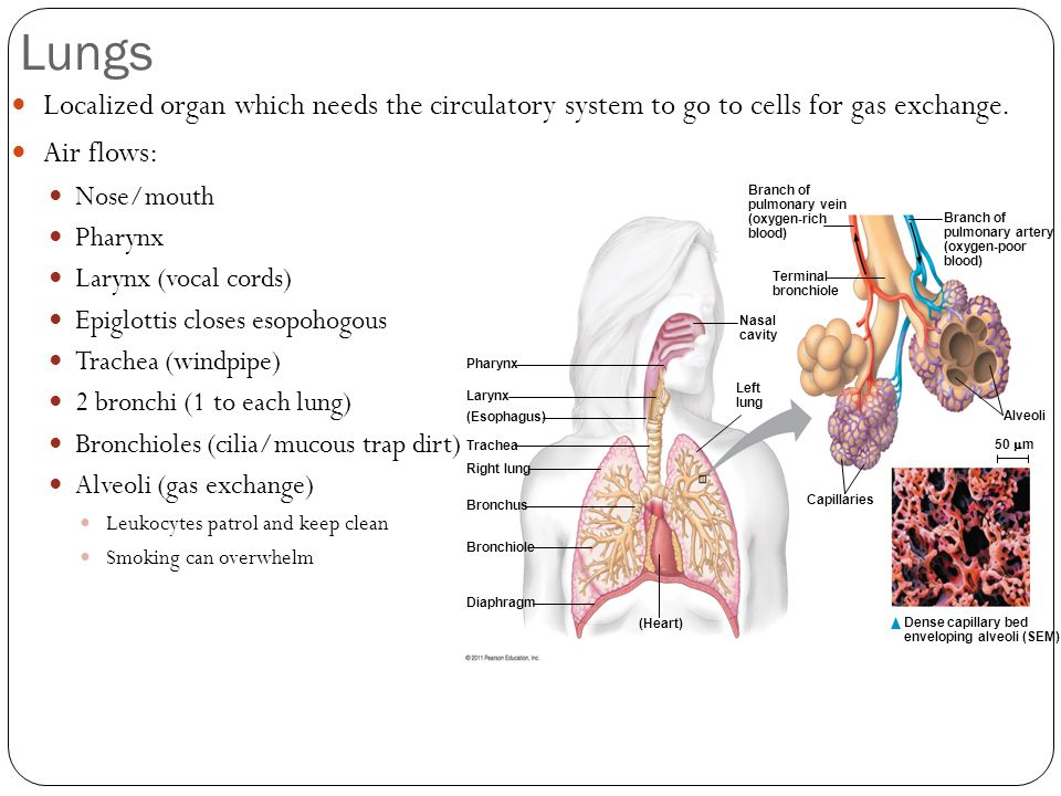 Lungs Localized organ which needs the circulatory system to go to cells for gas exchange.