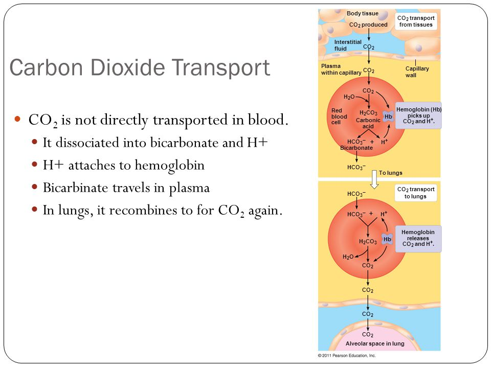 Carbon Dioxide Transport CO 2 is not directly transported in blood.