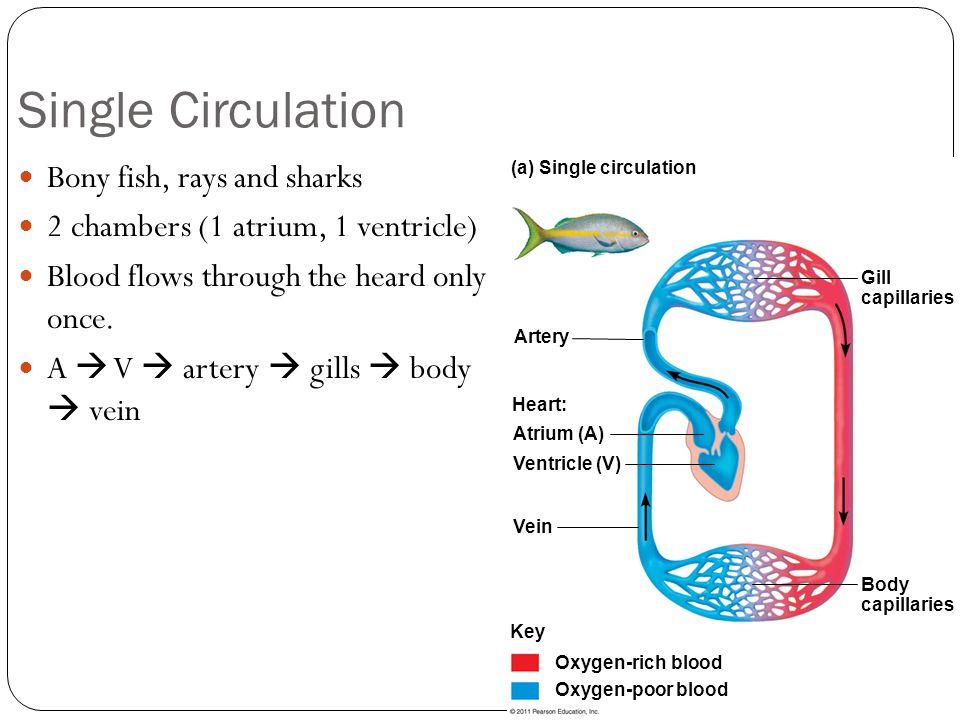 Double Circulation Amphibians, reptiles, mammals and birds.