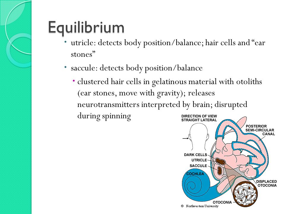 Equilibrium  utricle: detects body position/balance; hair cells and ear stones  saccule: detects body position/balance  clustered hair cells in gelatinous material with otoliths (ear stones, move with gravity); releases neurotransmitters interpreted by brain; disrupted during spinning