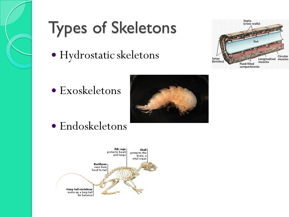 Types of Skeletons Hydrostatic skeletons Exoskeletons Endoskeletons