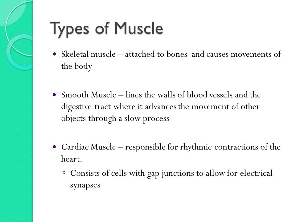 Types of Muscle Skeletal muscle – attached to bones and causes movements of the body Smooth Muscle – lines the walls of blood vessels and the digestive tract where it advances the movement of other objects through a slow process Cardiac Muscle – responsible for rhythmic contractions of the heart.
