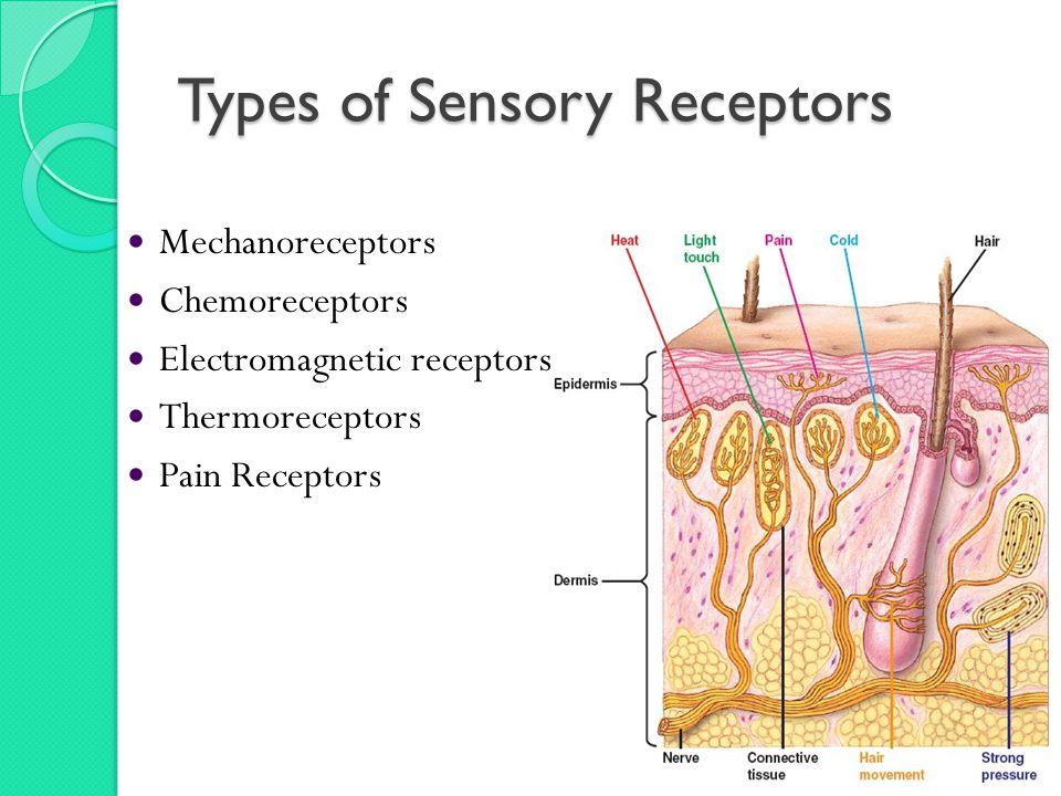 Types of Sensory Receptors Mechanoreceptors Chemoreceptors Electromagnetic receptors Thermoreceptors Pain Receptors
