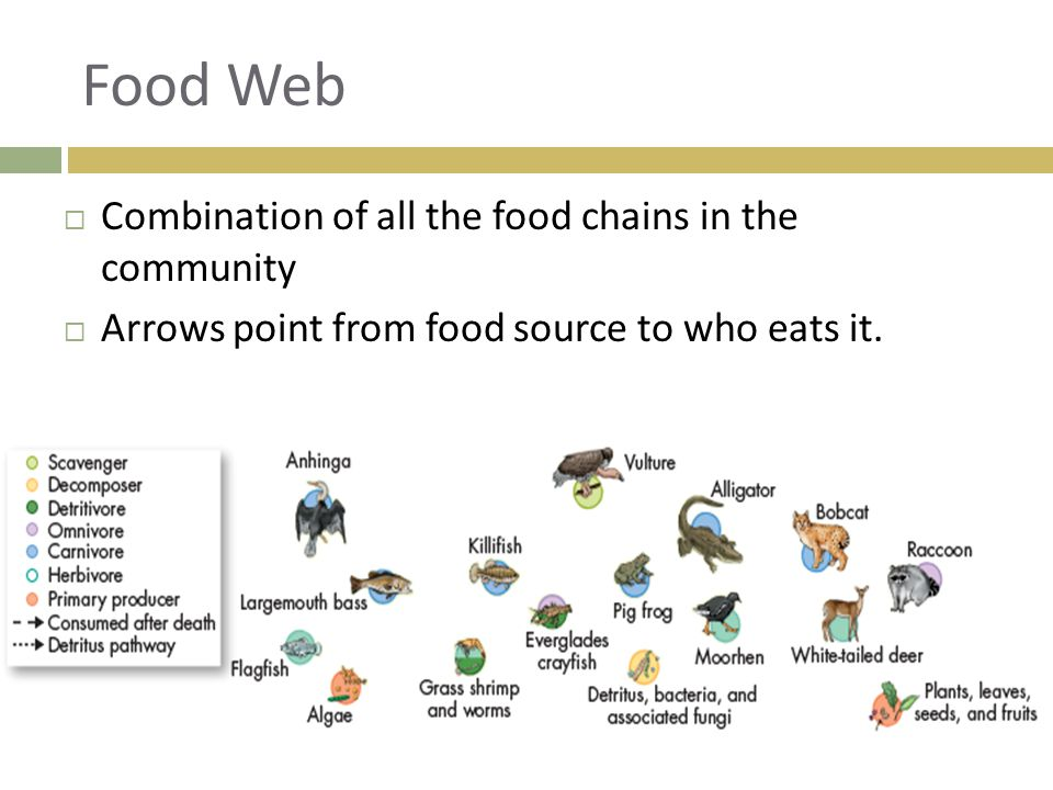 Food Web  Combination of all the food chains in the community  Arrows point from food source to who eats it.