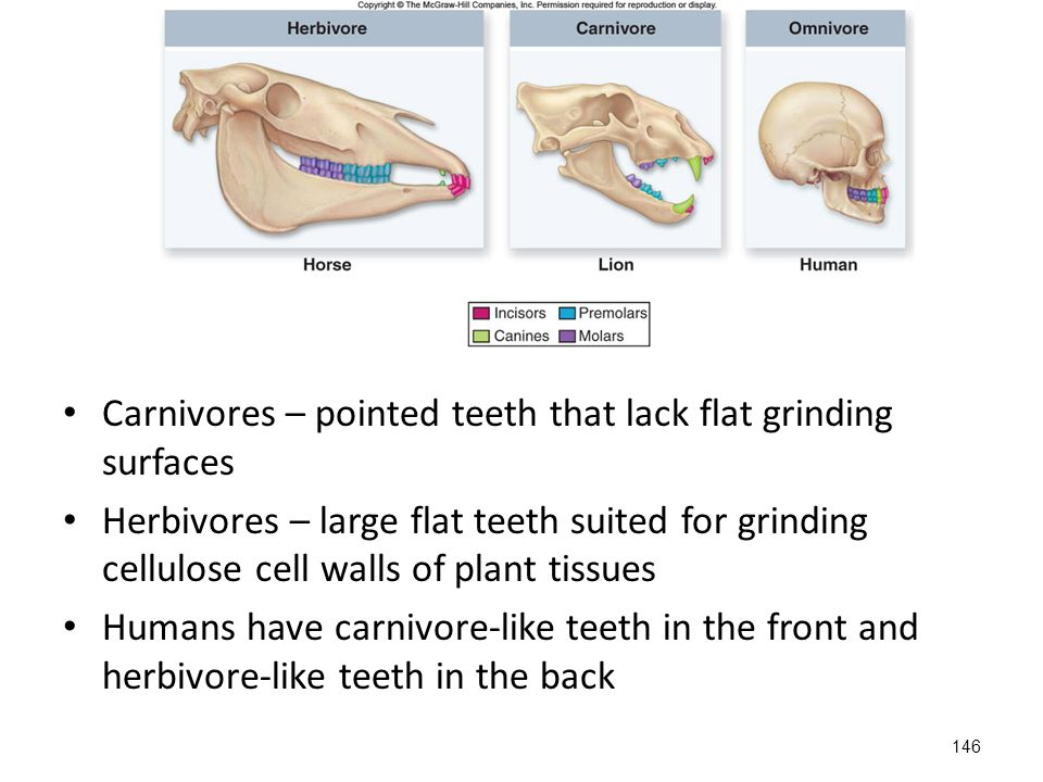 Carnivores – pointed teeth that lack flat grinding surfaces Herbivores – large flat teeth suited for grinding cellulose cell walls of plant tissues Humans have carnivore-like teeth in the front and herbivore-like teeth in the back 146