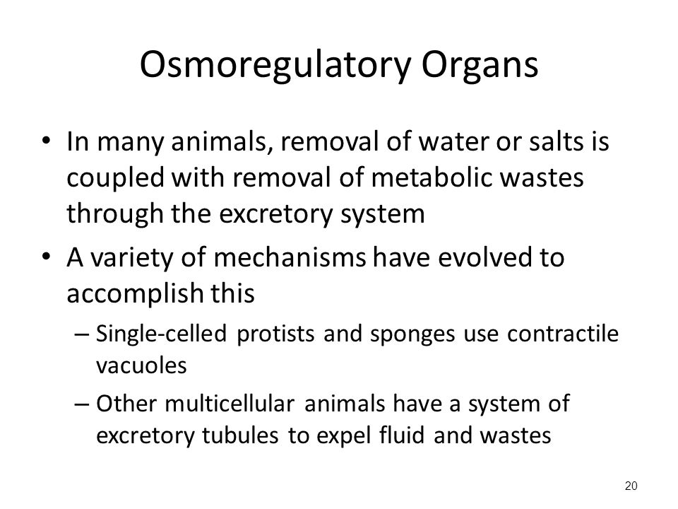 Osmoregulatory Organs In many animals, removal of water or salts is coupled with removal of metabolic wastes through the excretory system A variety of mechanisms have evolved to accomplish this – Single-celled protists and sponges use contractile vacuoles – Other multicellular animals have a system of excretory tubules to expel fluid and wastes 20