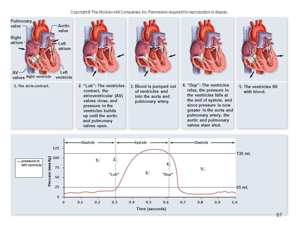 Right ventricle 1. The atria contract. Diastole Lub 1.