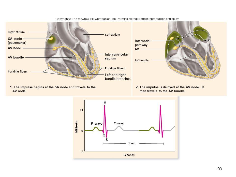 Seconds R T wave 1 sec +1 0 Purkinje fibers Left atrium Right atrium Purkinje fibers AV bundle SA node (pacemaker) AV node AV bundle Interventricular septum Left and right bundle branches 1.