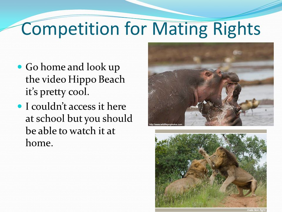 Competition for Mating Rights Go home and look up the video Hippo Beach it's pretty cool. I couldn't access it here at school but you should be able t