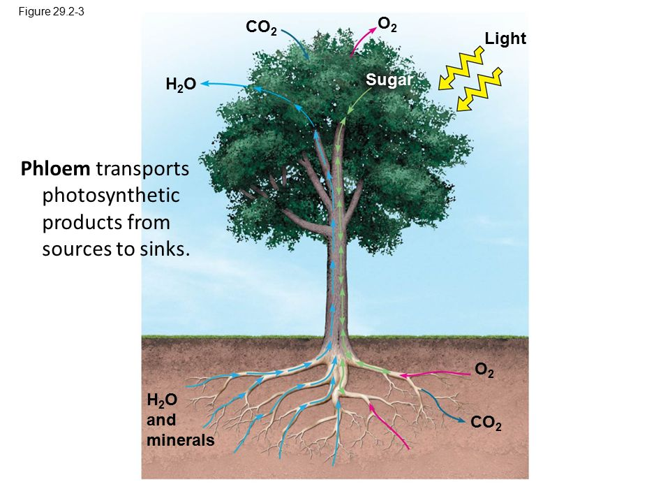 Figure 29.2-3 Light H 2 O and minerals H2OH2O Sugar O2O2 CO 2 O2O2 Phloem transports photosynthetic products from sources to sinks.