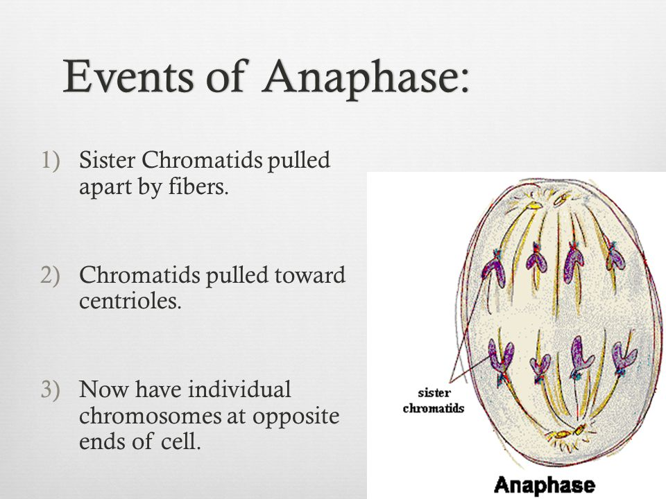 Events of Anaphase:Events of Anaphase: 1)Sister Chromatids pulled apart by fibers. 2)Chromatids pulled toward centrioles. 3)Now have individual chromo