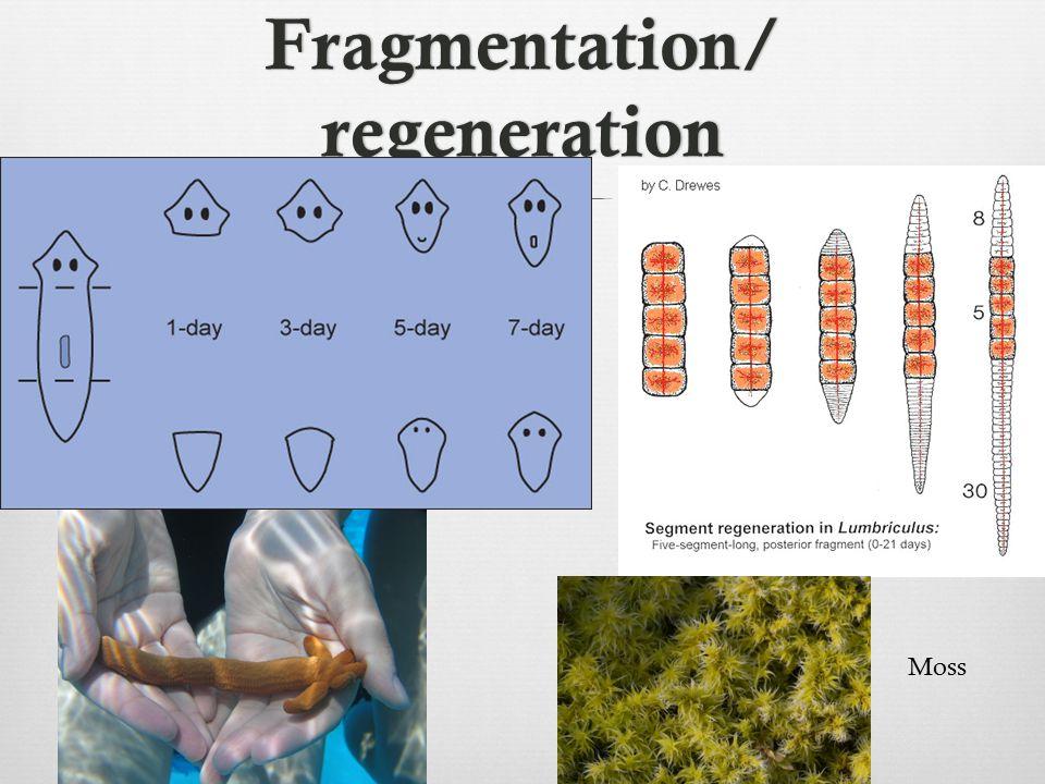Fragmentation/ regeneration Moss
