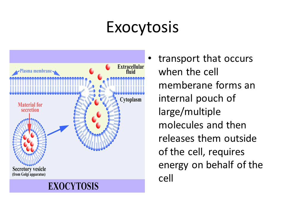 Exocytosis transport that occurs when the cell memberane forms an internal pouch of large/multiple molecules and then releases them outside of the cell, requires energy on behalf of the cell