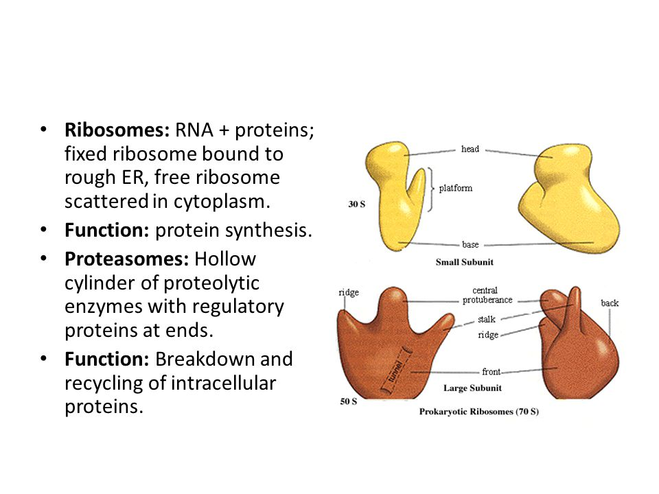 Ribosomes: RNA + proteins; fixed ribosome bound to rough ER, free ribosome scattered in cytoplasm. Function: protein synthesis. Proteasomes: Hollow cy