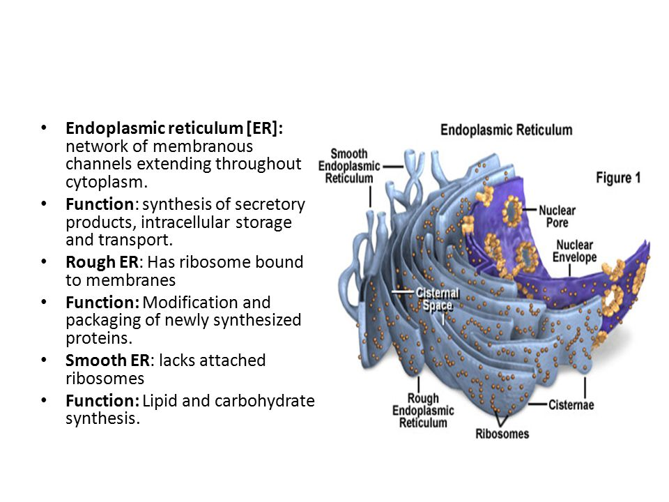 Endoplasmic reticulum [ER]: network of membranous channels extending throughout cytoplasm. Function: synthesis of secretory products, intracellular st