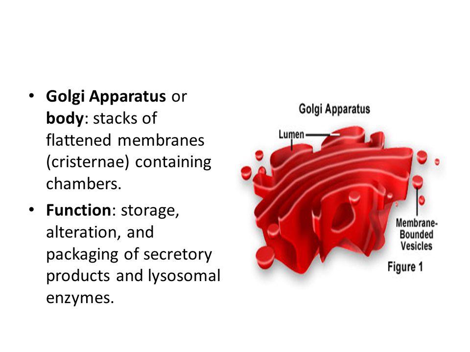 Golgi Apparatus or body: stacks of flattened membranes (cristernae) containing chambers. Function: storage, alteration, and packaging of secretory pro