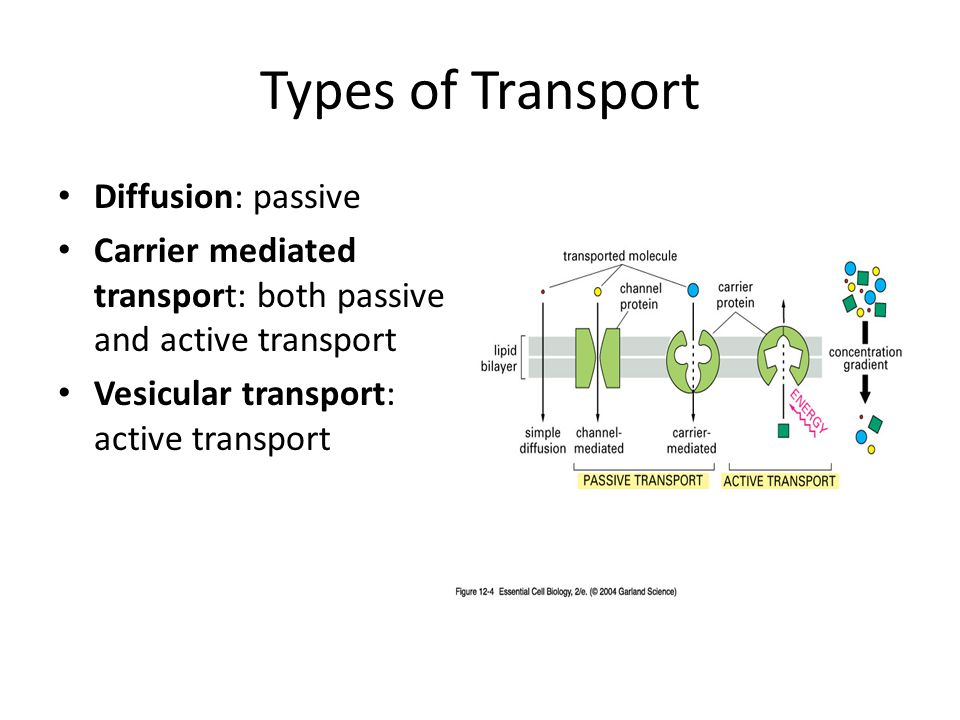 Types of Transport Diffusion: passive Carrier mediated transport: both passive and active transport Vesicular transport: active transport
