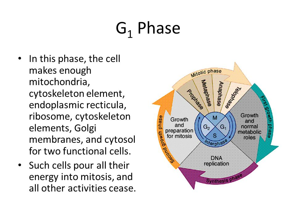 G 1 Phase In this phase, the cell makes enough mitochondria, cytoskeleton element, endoplasmic recticula, ribosome, cytoskeleton elements, Golgi membr