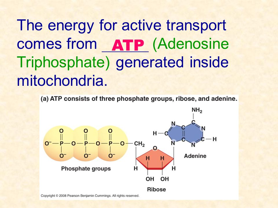 The energy for active transport comes from ______ (Adenosine Triphosphate) generated inside mitochondria.