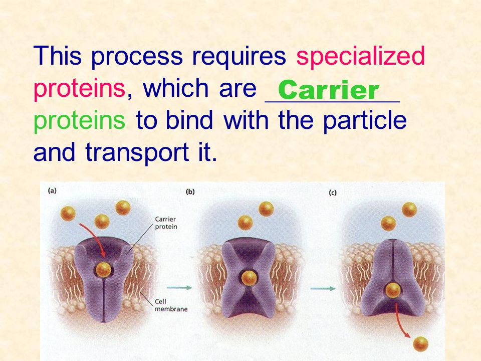 This process requires specialized proteins, which are __________ proteins to bind with the particle and transport it. Carrier