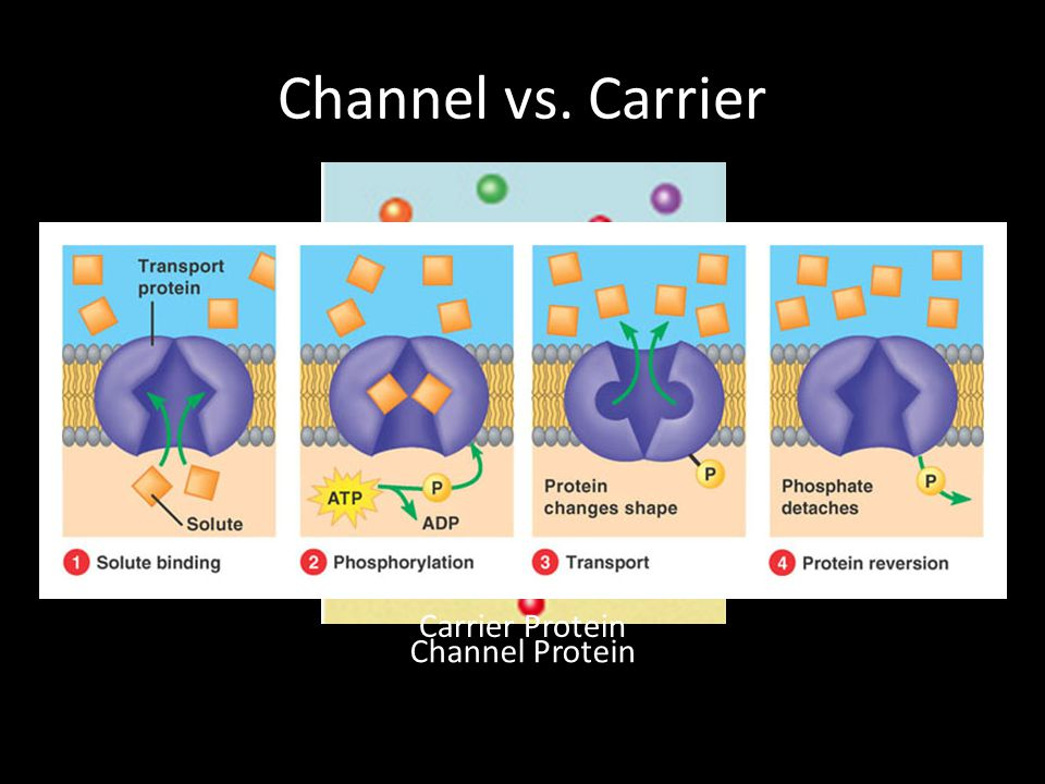Channel vs. Carrier Channel Protein Carrier Protein