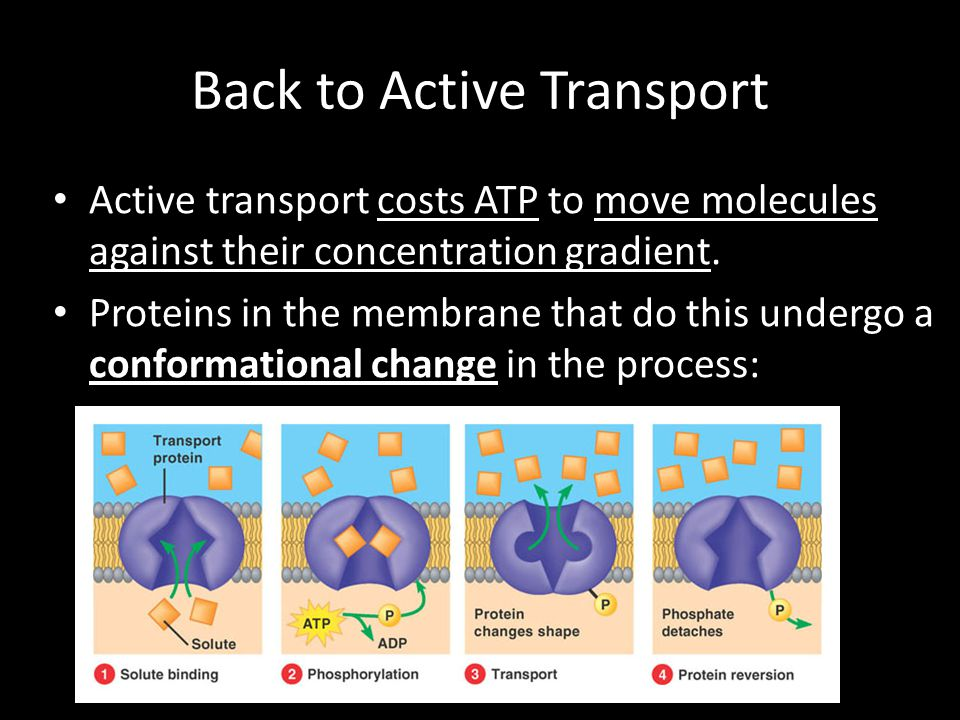 Back to Active Transport Active transport costs ATP to move molecules against their concentration gradient. Proteins in the membrane that do this unde