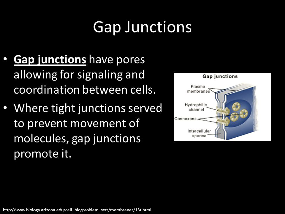 Gap Junctions Gap junctions have pores allowing for signaling and coordination between cells. Where tight junctions served to prevent movement of mole
