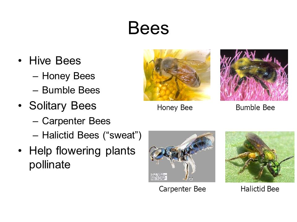 """Bees Hive Bees –Honey Bees –Bumble Bees Solitary Bees –Carpenter Bees –Halictid Bees (""""sweat"""") Help flowering plants pollinate Honey BeeBumble Bee Car"""
