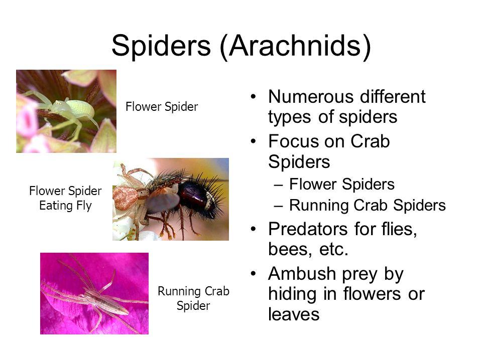 Spiders (Arachnids) Numerous different types of spiders Focus on Crab Spiders –Flower Spiders –Running Crab Spiders Predators for flies, bees, etc. Am