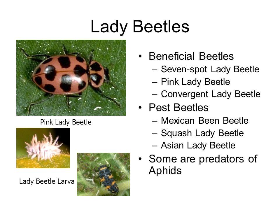 Lady Beetles Beneficial Beetles –Seven-spot Lady Beetle –Pink Lady Beetle –Convergent Lady Beetle Pest Beetles –Mexican Been Beetle –Squash Lady Beetl