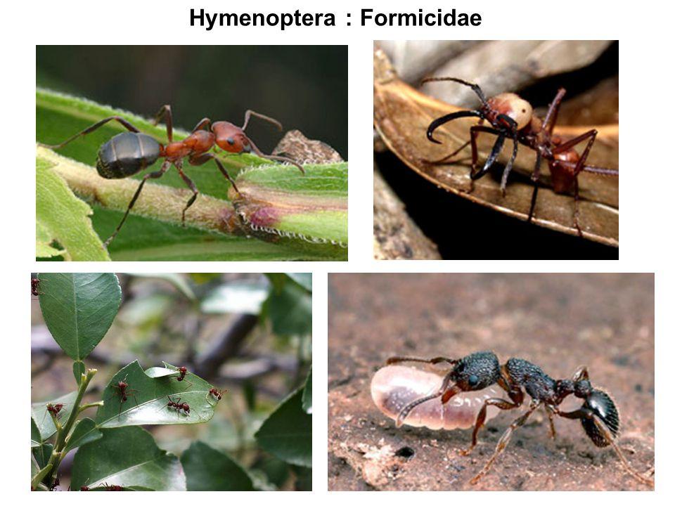 Hymenoptera : Formicidae
