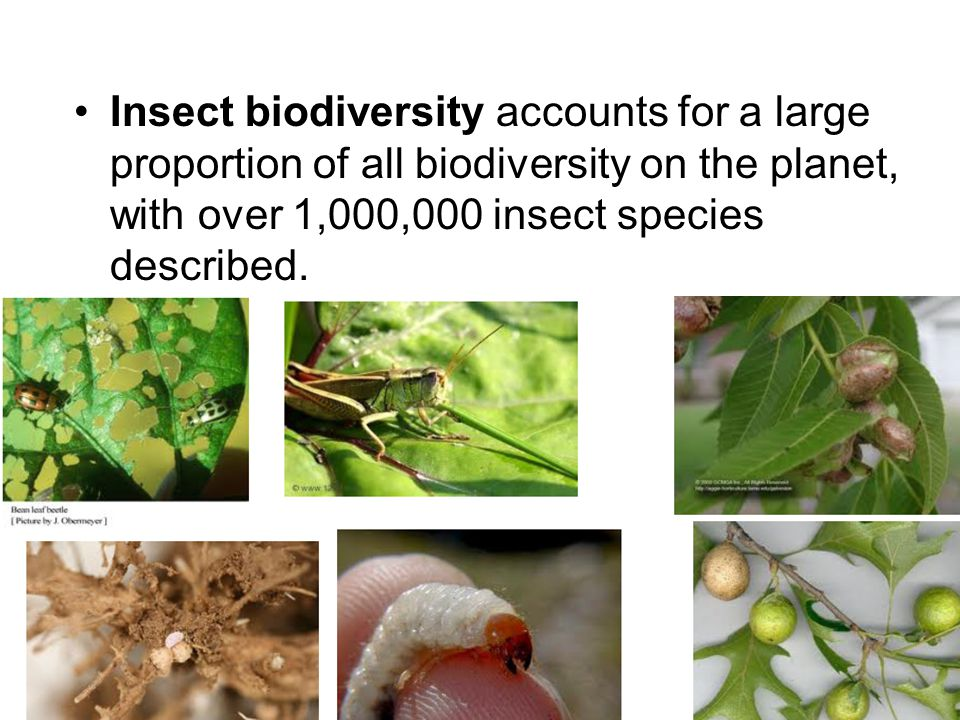 Hymenopteran Parasitoids Platygastrid wasp