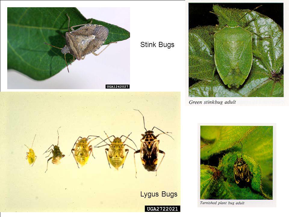 Lygus Bugs Stink Bugs