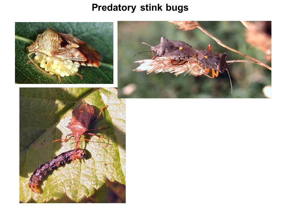 Predatory stink bugs