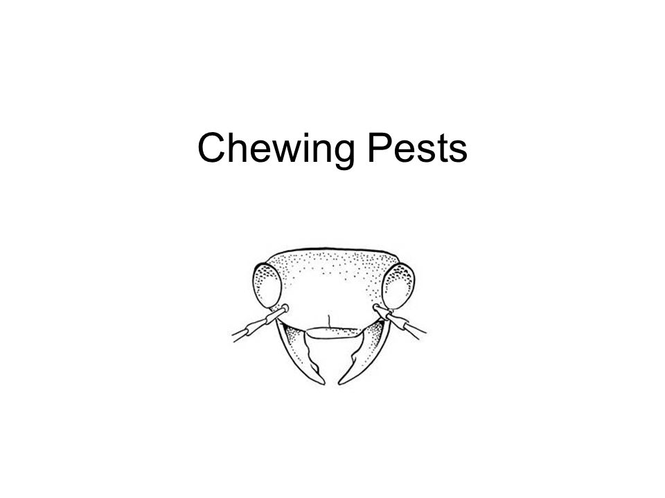 Hemiptera (piercing and sucking mouthparts)