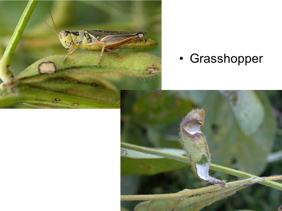 Boll Damage Adult Boll Weevil Feeding