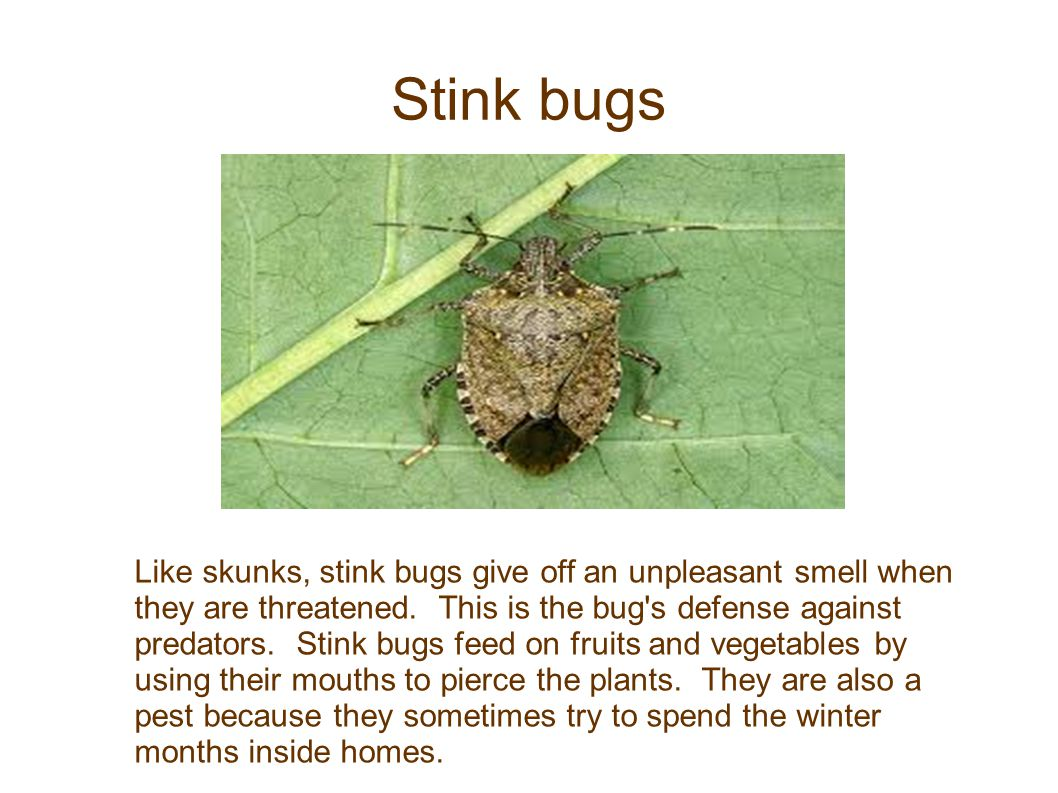 Stink bugs Like skunks, stink bugs give off an unpleasant smell when they are threatened. This is the bug's defense against predators. Stink bugs feed