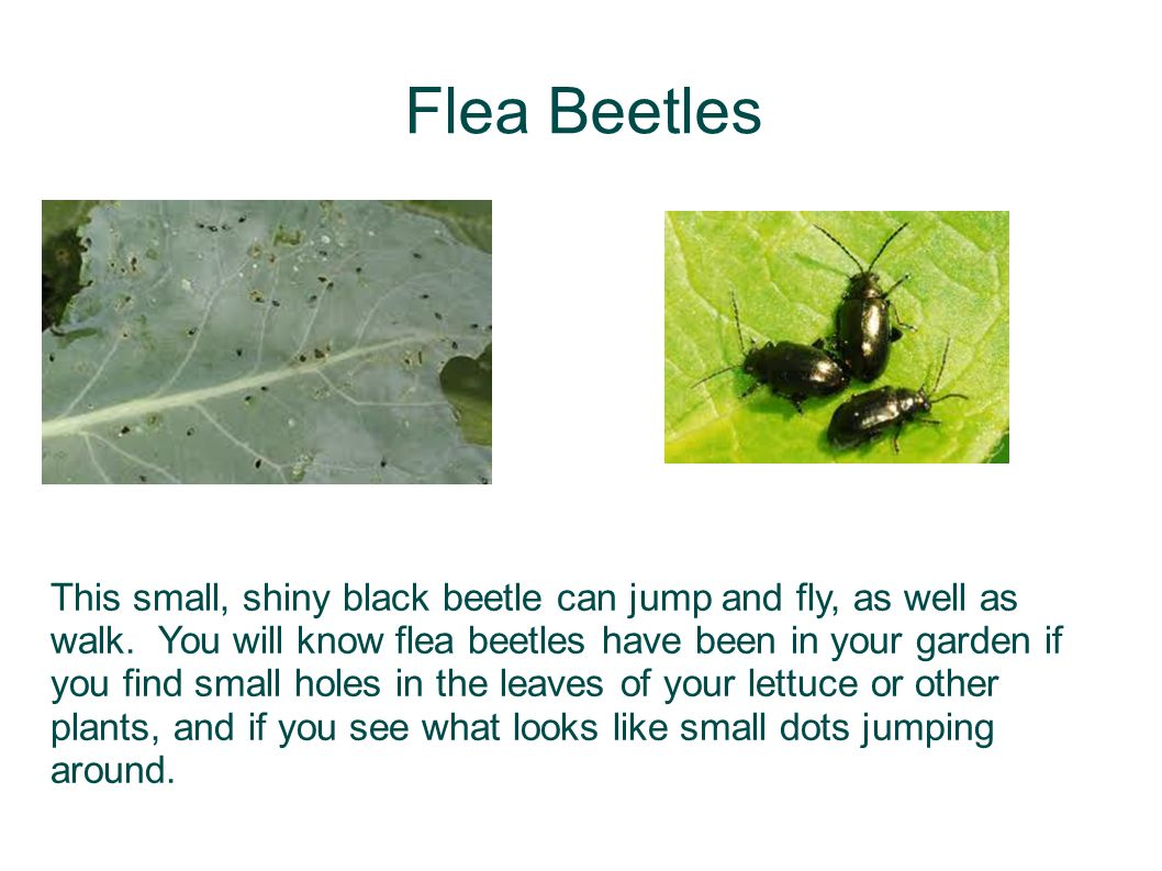 Flea Beetles This small, shiny black beetle can jump and fly, as well as walk. You will know flea beetles have been in your garden if you find small h