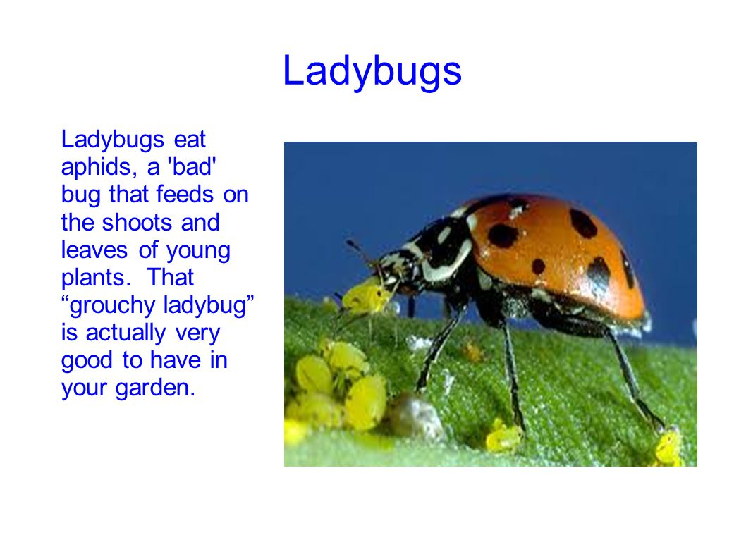 """Ladybugs Ladybugs eat aphids, a 'bad' bug that feeds on the shoots and leaves of young plants. That """"grouchy ladybug"""" is actually very good to have in"""