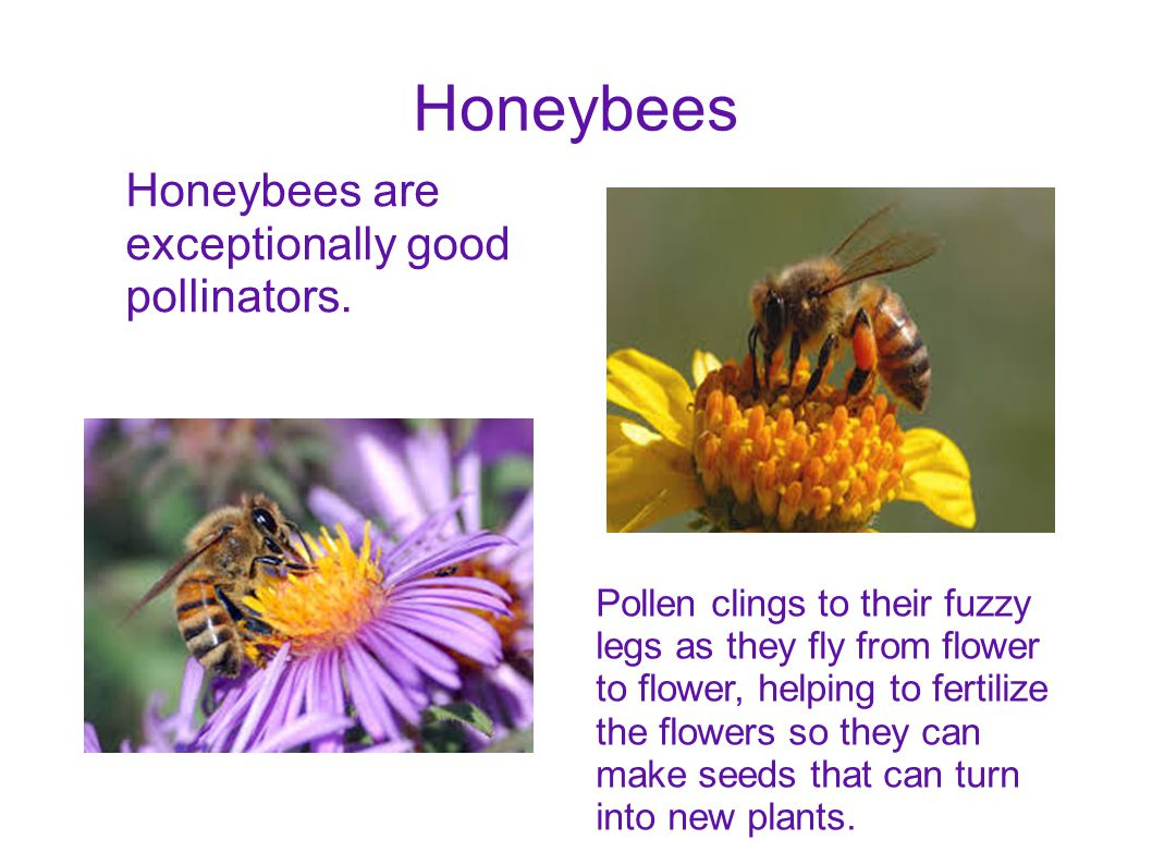 Honeybees Honeybees are exceptionally good pollinators. Pollen clings to their fuzzy legs as they fly from flower to flower, helping to fertilize the