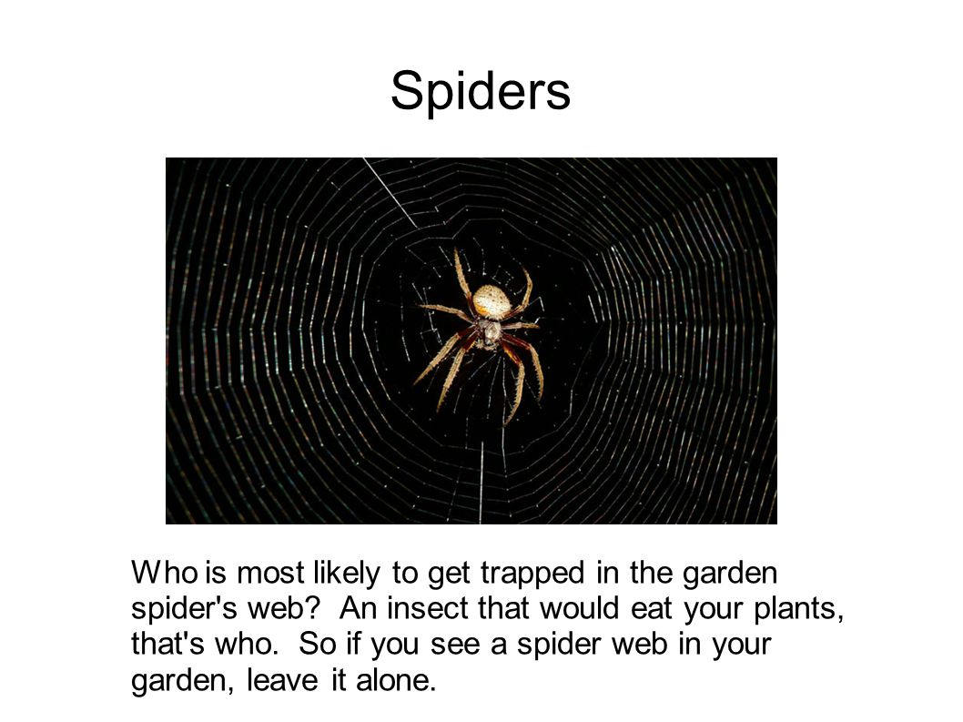 Spiders Who is most likely to get trapped in the garden spider's web? An insect that would eat your plants, that's who. So if you see a spider web in