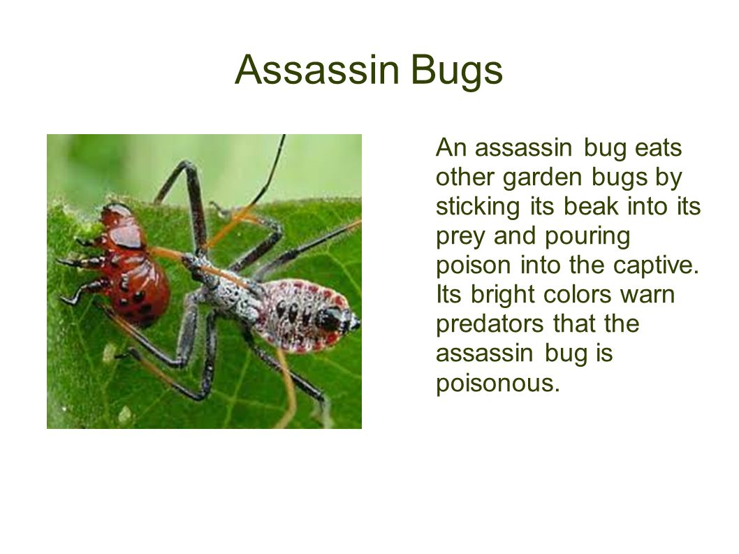 Assassin Bugs An assassin bug eats other garden bugs by sticking its beak into its prey and pouring poison into the captive. Its bright colors warn pr